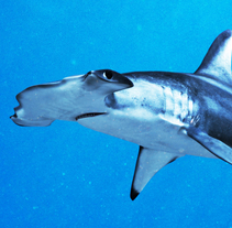 Hammerhead shark. A 3D project by Javier García García de Iturrospe - Sep 10 2014 12:00 AM