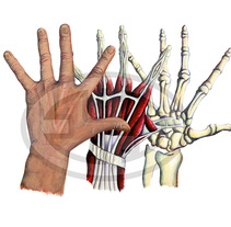 Anatomia de la mano. A Illustration project by Fernando Garrido Rubio         - 07.02.2016