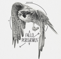 FALCO PEREGRINUS. A Illustration project by miguel sastre         - 30.08.2017